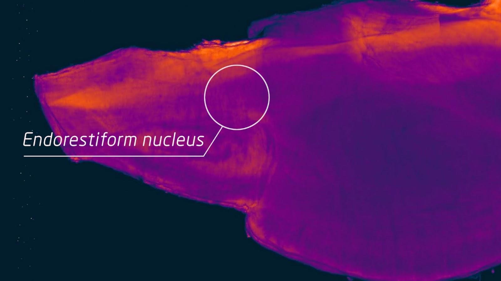 Скрытая часть мозга, биология, мозжечковая ножка
