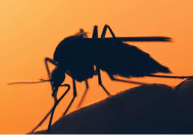 komar 1 Зачем комару кровь?